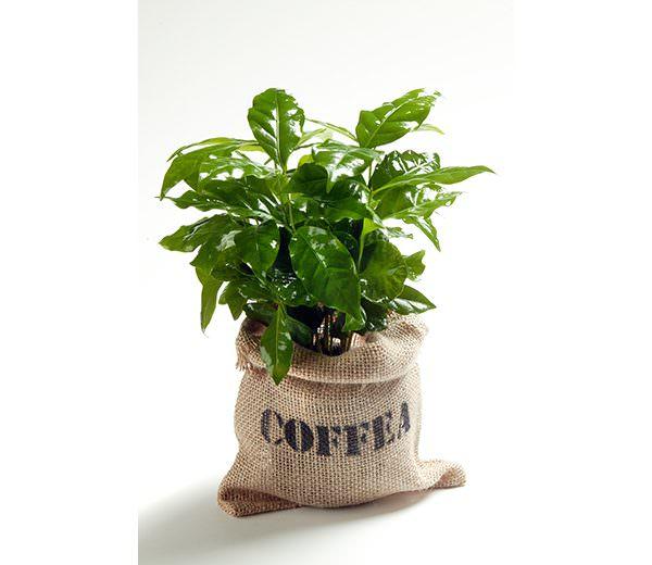 Kaffeepflanze im Jutesack